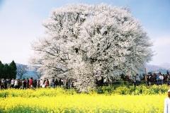 南阿蘇/一心行の桜